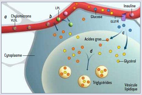 L'adipocyte, cellule de stokage, son contenu, et son fonctionnement